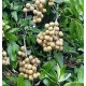 Longan (Dimocarpus Longan) Sadzonki