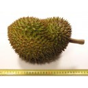 Durian (Durio Zibethinus) Sadzonki