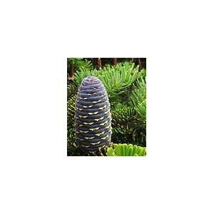 http://www.oleander.pl/1003-2055-thickbox/jodla-koreaska-abies-koreana-nasiona.jpg