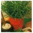 Rozmaryn (Rosmarinus Officinalis) Sadzonki