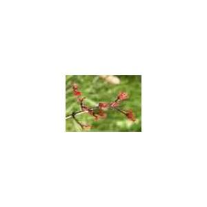 http://www.oleander.pl/1015-2065-thickbox/klon-palmowy-acer-palmatum-sadzonki.jpg