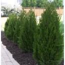 Jałowiec (Juniperus Chinensis Spartan) Sadzonki