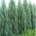 Jałowiec Kolumnowy (Juniperus Scopulorum Blue Arrow) Sadzonki