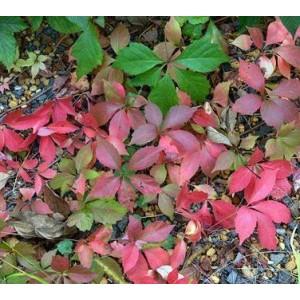 http://www.oleander.pl/1020-2150-thickbox/winobluszcz-dzikie-wino-pathenocissus-sadzonki.jpg