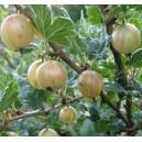 Agrest Biały (Ribes Uva-crispa) Sadzonki