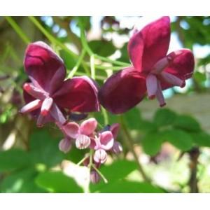 Akebia Pięciolistkowa (Akebia Quinata) Sadzonki