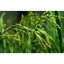 Ryż (Oryza Sativa) 50 nasion w cenie 40!