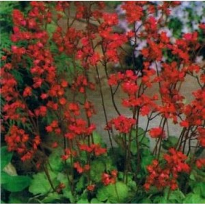 Żurawka Ogrodowa (Heuchera sanguinea) nasiona