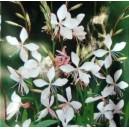 Gaura (Gaura lindheimeri) nasiona