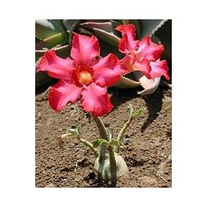 Róża Pustyni (Adenium Obesum) sadzonki 15-20 cm