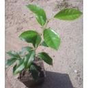 Mandarynka (citrus reticulata) 2 letnie sadzonki