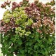 Oregano - Lebiodka Pospolita (Origanum Vulgare) - nasiona