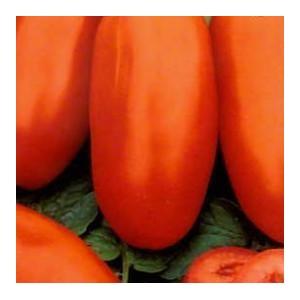 Pomidor Gruntowy Długoowocowy (Lycopersicon Esculentum) nasiona