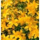 Dziurawiec zwyczajny (Hypericum Perforatum) nasiona