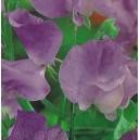 Groszek pachnący fioletowy (Lathyrus Odoratus) nasiona