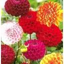 Dalia Pomponowa (Dahlia Pinnata) nasiona