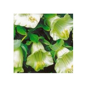 http://www.oleander.pl/1104-2222-thickbox/kobea-pnaca-biala-cobea-scandens-nasiona.jpg