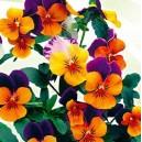 Fiołek rogaty (Viola cornuta) nasiona