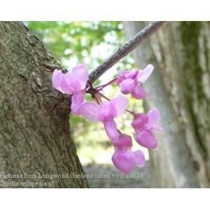 Judaszowiec chiński - Cercis chinensis 2 małe, roczne sadzonki