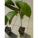 Kakaowiec cupuacu (Theobroma grandiflora) sadzonki