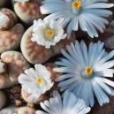 Żywe Kamienie Szczęścia (Lithops - Living Stones) sadzonki