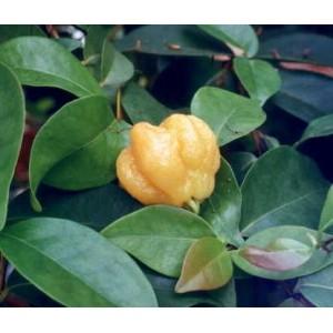 Goździkowiec, Pitanga (Eugenia Uniflora) 2 letnie sadzonki