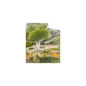 Palma Pritchardia Pacifica roczna sadzonka
