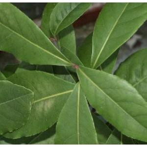 Laur, Wawrzyn Szlachetny (Laurus Nobilis) 4 sadzonki ok 10 cm