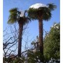 Szorstkowiec Fortunego Palma (Trachycarpus Fortunei) sadzonki Min 2 Liście