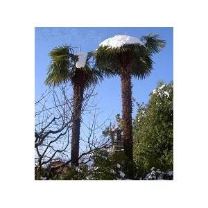 Szorstkowiec Fortunego Palma (Trachycarpus Fortunei) 4 sadzonki min 1 liść