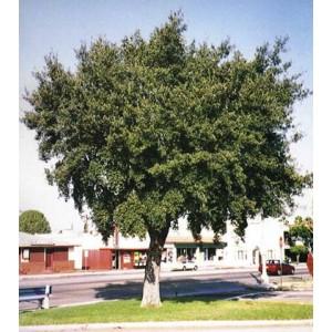 Dąb szypułkowy (Quercus robur) 2 sadzonki 2 letnie