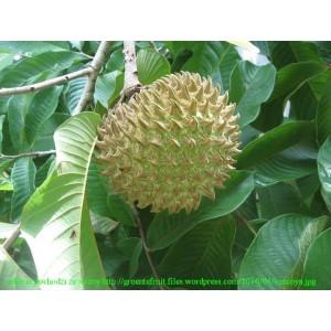 Jabłko Cherimoya (Annona cherimola), Cherimoja, cherymoja roczne sadzonki