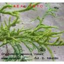 Kryptomeria japońska - cryptomeria japonica 'rasen'