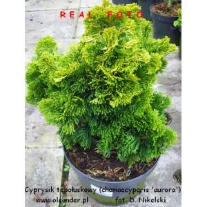 Cyprysik tępołuskowy - chamaecyparis obtusa 'aurora' 10-20 cm