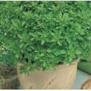Bazylia grecka (Ocimum Basilicum) nasiona