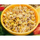 Soczewica kiełki na nasiona