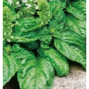 Bazylia sałatowa (Ocimum Basilicum) nasiona
