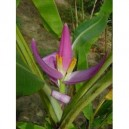 Musa velutina - banan różowy - sadzonki