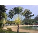 Drzewo podróżników (ravenala madagascariensis)