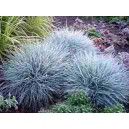 Niebieska Trawa - Kostrzewa (Festuca Glauca) 100 nasion