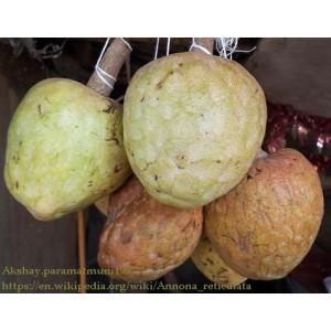 Flaszowiec (Annona Reticulata) roczne sadzonki