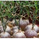 Schizobasis intricata - podobna do rośliny żółw