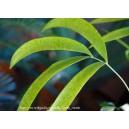 zamia roezli - chigua - roczna sadzonka