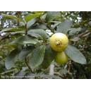 Gwajawa ARACA PERA (psidium ansulatum) sadzonki