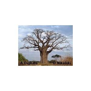 Baobab afrykański (Adansonia Digitata) 3 letnie sadzonki