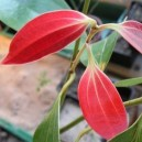 Cynamonowiec cejloński (Cinnamomum zeylanicum) sadzonki