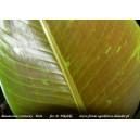 Bananowiec czerwony - musa siam ruby - sadzonki