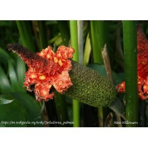 Karludovica palmowa (carludovica palmata) sadzonki