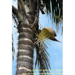 Palma Jingapa (bactris setulosa) - sadzonki