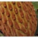 Guanabana górska (raimondia) sadzonki